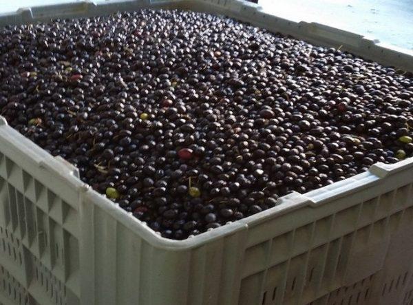 La fabrication de l'huile d'olive
