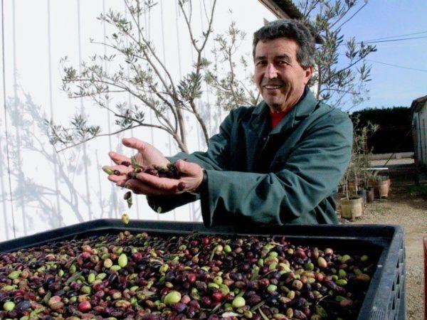 Tri sévère des olives