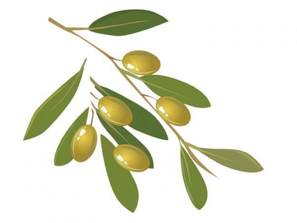 Culture de l'olivier