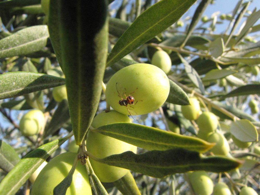 Mouche de l 39 olivier les huiles d 39 olive robert maison familiale fond e n mes en 1880 - Insecticide mouche de l olive ...
