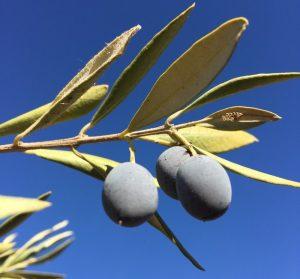 Promotions dans vos points de vente : dégustez et choisissez votre meilleure huile d'olive à prix sympa !