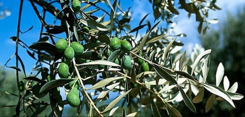 olive1